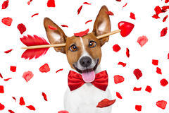 Crazy in love valentines dog Royalty Free Stock Images