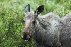 Crazy moose Royalty Free Stock Photography