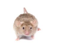 Crazy mouse looking on YOU! Royalty Free Stock Photography