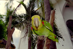 Crazy Parrot Royalty Free Stock Images