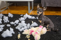 Crazy pincher dog Stock Images