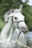 Crazy portrait of White English Thoroughbred horse Stock Images