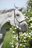 Crazy portrait of white English Thoroughbred horse. In front of some blossoms Royalty Free Stock Photography