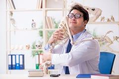 The crazy professor studying human skeleton royalty free stock photo