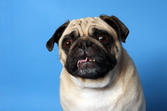 Crazy Pug Stock Photos