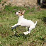 Crazy puppy of jack russell terrier jumping Royalty Free Stock Photography