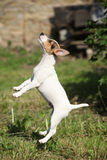 Crazy puppy of jack russell terrier jumping Royalty Free Stock Images
