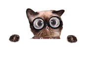 Crazy silly cat with funny glasses. Behind blank placard stock photo