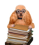 Crazy silly dog behind a tall stack of books Royalty Free Stock Image