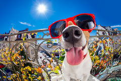 Crazy silly dumb dog fisheye look. Silly dumb crazy jack russell dog portrait in close up fisheye lens look on balcony on summer vacation holidays, sticking out stock photography