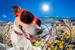 Crazy silly dumb dog fisheye look Royalty Free Stock Image