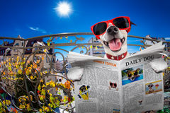 Crazy silly dumb dog fisheye look. Silly dumb crazy jack russell dog portrait in close up fisheye lens look on balcony on summer vacation holidays, sticking out royalty free stock photos