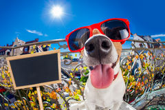 Crazy silly dumb dog fisheye look Royalty Free Stock Images