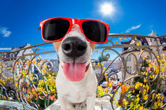 Crazy silly dumb dog fisheye look. Silly dumb crazy jack russell dog portrait in close up fisheye lens look on balcony on summer vacation holidays, sticking out Stock Photos