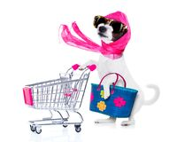 Shopping dog diva. Crazy and silly poodle dog diva lady with bag pushing empty supermarket cart , isolated on white background royalty free stock photo