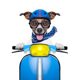 Crazy speed dog Royalty Free Stock Images