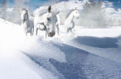 Crazy White. Three action-packed white horses running directly into the viewer through a cold mountain snow drift Stock Image