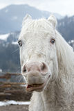Crazy white horse Royalty Free Stock Images