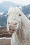 Crazy white horse Royalty Free Stock Photo