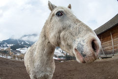 Crazy white horse Stock Photo