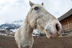 Crazy white horse Stock Photo