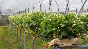 Crèche de fraise Photos stock