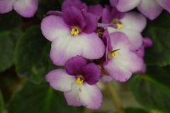 creación Púrpura-blanca de la naturaleza en flores foto de archivo libre de regalías