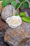 Cream белая роза с капельками воды Стоковое Изображение