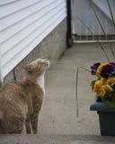 Cream кот Стоковая Фотография