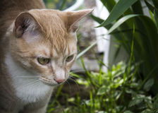 Cream кот Стоковая Фотография RF