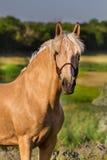 Cream лошадь Стоковые Фотографии RF