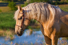 Cream лошадь Стоковое Фото