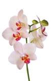 Cream покрашенная орхидея цветки разветвляют изолированный на белизне Стоковое Изображение RF