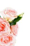 Cream розовые розы Стоковое Фото