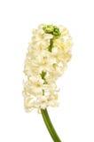 Cream цветок гиацинта Стоковое фото RF