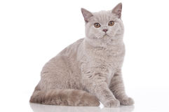 Cream british short hair cat sitting Stock Photography