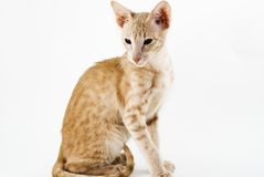 Cream cat. On white bacground Royalty Free Stock Photo