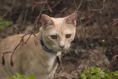 Cream Cat. A cream colored cat in the garden royalty free stock photography