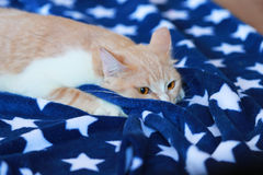 Cream cat  is watching and hiding in blue blanket Stock Photography