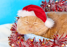 Cream cat wearing Santa's hat Royalty Free Stock Photos