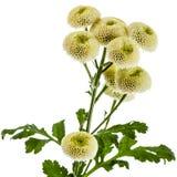 Cream chrysanthemum flowers, isolated on white background Stock Photography