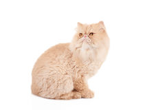 Cream color persian cat sitting and looking to the side Stock Photos