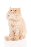 Cream color persian cat sitting, looking up and waiting. Something on the white isolated background royalty free stock photo