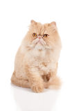 Cream color persian cat sitting with one paw in front and looking with interest to the front side Royalty Free Stock Photos