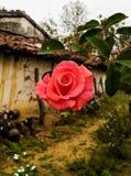 Cream color rose potrait. Closeup shot royalty free stock photos