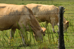 Cream Colored Charolais Cows Grazing Royalty Free Stock Image