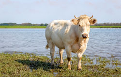 Cream colored cow with horns curiously looking at the photograph Stock Photos