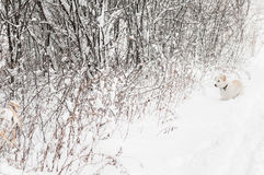 Cream Colored Dog Looks for Mice in Snowy Area Stock Photos
