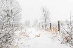 Cream Colored Dog in Snowstorm Stock Images