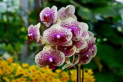Cream colored orchid with fushia spots Stock Images